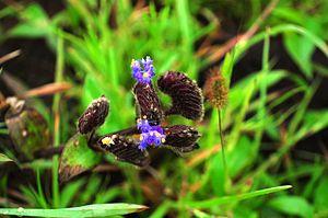 Kaas plateau - Cynotis tuberosa
