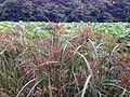 Cyperus ohwii and Nelumbo nucifera in north moat of Fukuoka Castle.jpg
