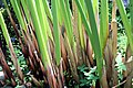 Cyperus papyrus 26zz.jpg