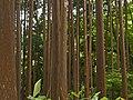 Cypress forest in Mata Jardim José do Canto.jpg