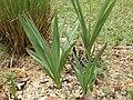 Cyrtopodium witekii folha.JPG