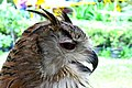 D85 1795Siberian Eagle Owl Photographed by Trisorn Triboon.jpg