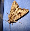 DSC07343 British Moths.jpg