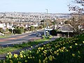 Daffodils, Dartmouth Road, Waterside, Paignton - geograph.org.uk - 1225833.jpg