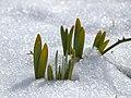 Daffodils – Narcissus (5582933123).jpg