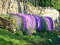 Daffodils and Aubrietia, Badbury, Swindon - geograph.org.uk - 744587.jpg