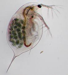 Image result for daphnia