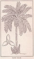 Date Palm Page 785.jpg