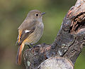 Daurian redstart (female) in Sakai, Osaka, February 2016 III.jpg