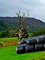 Dead Oak - panoramio.jpg