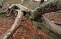 Dead tree, Barnett Demesne, Belfast - geograph.org.uk - 1639338.jpg