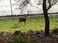 Deer DSCN2502.jpg