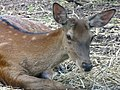 Deer in Animal Reserve - Byelovezhskaya Puscha State National Park - Near Kamenyets - Brest Oblast - Belarus (27459234015).jpg