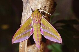 Deilephila elpenor 03.jpg