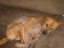 A dog with severe demodectic mange