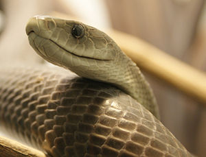 English: Black mamba (Dendroaspis polylepis)