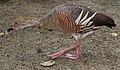 Dendrocygna eytoni -Australia Zoo, Queensland, Australia-8Jan2011.jpg