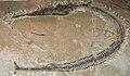 Dercetis serpentinus.JPG