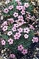 Dianthus gratianopolitanus ssp pulchellus 2.jpg