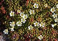 Diapensia lapponica in Mount Haku s2.JPG