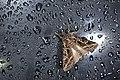 Dictyestra dissecta (35693213265).jpg