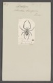 Dictyna - Print - Iconographia Zoologica - Special Collections University of Amsterdam - UBAINV0274 068 04 0018.tif