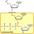 Dideoxy termination of DNA elongation PL.png