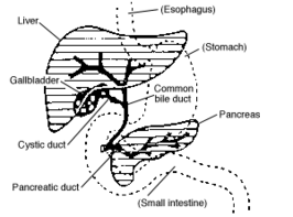 bile coming from anus
