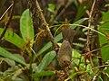Diglossa albilatera (Diglosa albilátera) - Hembra madre con nido cercano (13960784129).jpg