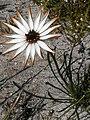 Dimorphotheca nudicaulis Hangklip 05.jpg