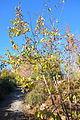 Diospyros lotus - Quarryhill Botanical Garden - DSC03310.JPG