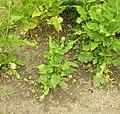 Dipsacus pilosus plant (14).jpg