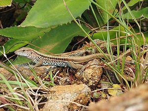 A lizard near Santa Fé (Veraguas Province), Panamá