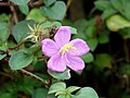 Dissotis rotundifolia at Aanakkulam.jpg