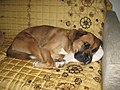 Dog sleeping Rome.JPG