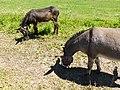 Donkey @ Saint-Jorioz (50488432956).jpg