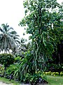 Dragon's Fruit Tree - panoramio.jpg