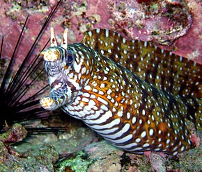 Description de l'image  Dragon Eel (Enchelycore pardalis).jpg.