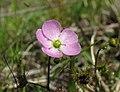 Drosera peltata flower5 (15406338622).jpg