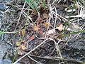 Drosera rotundifolia in Königsmoor.jpg