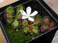 Drosera whittakeri ssp aberransFloweringPlant2.jpg