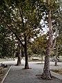 Drveće u parku Svetog Save u Nišu (4).jpg