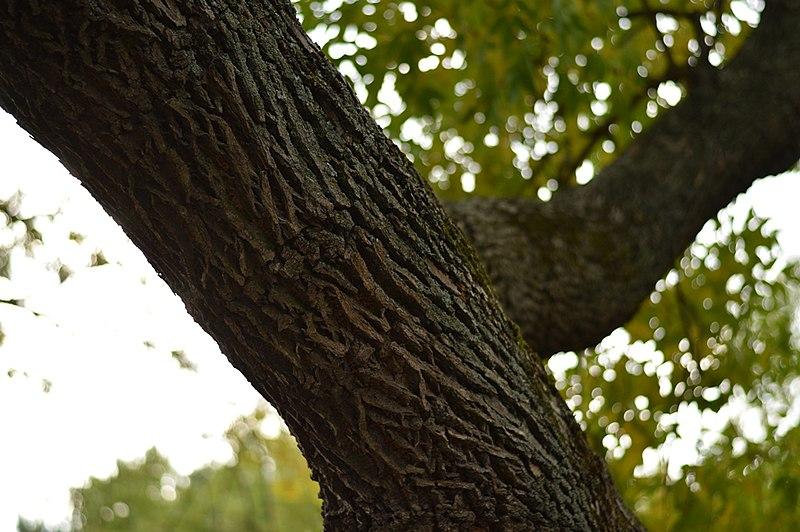 File:Drvenste vrste biljaka, Niška tvrđava, Niš, Srbija (222).jpg