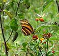 Dryadula phaetusa, Banded Orange. underside - Flickr - gailhampshire (1).jpg