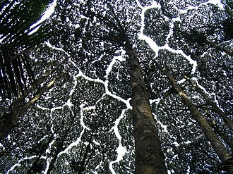 Dryobalanops aromatica - Canopy of D. aromatica in the Forest Research Institute Malaysia, Kuala Lumpur displaying crown shyness