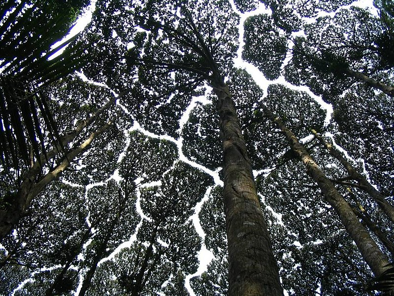 Crown shyness: Which the crowns of neighboring trees of similar height do not touch each other.
