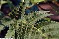 Dryopteris carthusiana 1zz.jpg