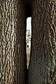 Dvīņu ozoli (mīlestības ozoli),Stāmerienas pils - panoramio.jpg