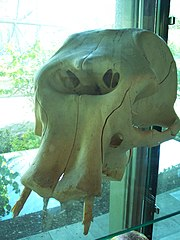 skull of a dwarf elephant displayed in the zoo of Munich, Germany.