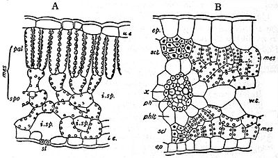 EB1911 Plants - transverse sections of leaves.jpg